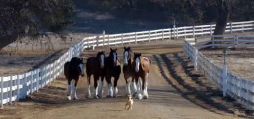 Budweiser-Super-Bowl-XLVIII-commercial-Puppy-Love